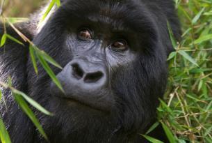 Uganda y Rwanda con Gorilas