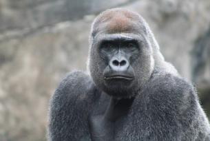 Miradas de Gorilas en Uganda