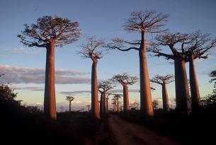 Madagascar, La isla de los Baobas