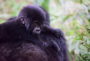 Tras las huellas de los primates en Uganda