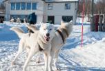 Laponia sueca auroras boreales en Lulea, motos de nieve, trineos de perros huskies.