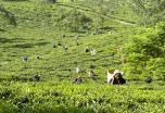 La Ruta India del Te: Calcuta, Dibrugarh y Darjeeling (salida especial en grupo)