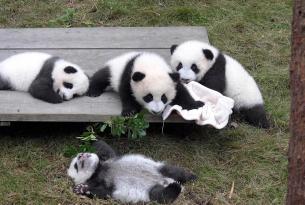 Descubre la China milenaria y visita la reserva de osos panda de Chengdú