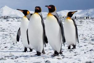 Antártida -  Falklands, South Georgia y Pen. Antártica - Cruceros de Expedición en el M/V Plancius. Nov 15'- Feb 16´