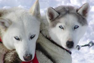 Trineo de Perros en la Laponia finlandesa: el sueño de la taiga