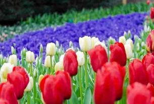Holanda en bicicleta: ruta de los tulipanes