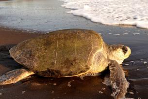 Costa Rica y la noche mágica de las tortugas marinas