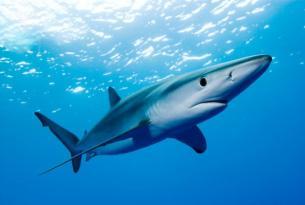 Viaje buceo Portugal Azores especial tiburón azul